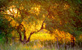 Golden light sunset and tree Royalty Free Stock Photo