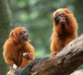 Golden Lion Tamarin Stock Photos