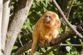 Golden lion tamarin Stock Photography
