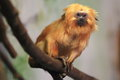 Golden lion tamarin the on the branch Royalty Free Stock Images