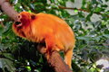 Golden Lion Tamarin on branch Royalty Free Stock Photo