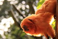 Golden lion tamarin Royalty Free Stock Photo