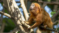 Golden lion tamarin leontopithecus rosalia staring Royalty Free Stock Photo