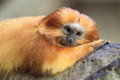 Golden lion tamarin the lying on the rock Stock Photography