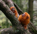 Golden lion tamarin monkeys leontopithecus rosalia chrysomelas mother and child eating Royalty Free Stock Images