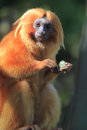 Golden lion tamarin the standing adult Royalty Free Stock Images