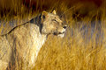 Golden lioness a in perfect sunlight in south africa Royalty Free Stock Images