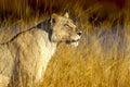 Golden Lioness
