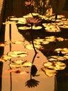 Golden Lotus Pond Royalty Free Stock Photo