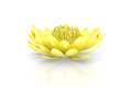 Golden lotus water lily beautiful blooming gold flower isolated on pure white background Royalty Free Stock Photos