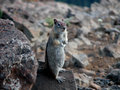 Golden mantel ground squirrel a stands at attention on a rock watching and listening for danger Royalty Free Stock Photos