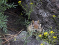 Golden mantle ground squirrel in flowers a chipmunk peeking out from behind yellow wildflowers Royalty Free Stock Image