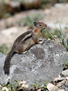 Golden mantled ground squirrel a on mount rainier Stock Image