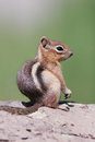 Golden-mantled Ground Squirrel, Spermophilus Royalty Free Stock Photos