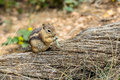 Golden mantled ground squirrel ut utah usa Royalty Free Stock Photo
