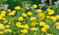 Golden Marguerite, Anthemis tinctoria Royalty Free Stock Photo
