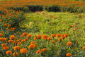 Golden marigold fields (1) Stock Photo