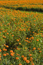 Golden marigold fields (3) Stock Image