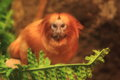 Golden marmoset Royalty Free Stock Image