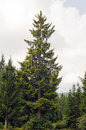 Golden Norway spruce Picea abies