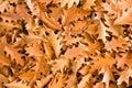Golden oak leaves Stock Photo
