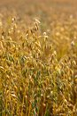 Golden oat field Royalty Free Stock Photos