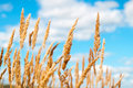 Golden oat field over blue sky and some clouds Royalty Free Stock Photo