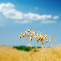 Golden oat on field Royalty Free Stock Photo