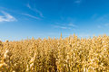 Golden oat field Royalty Free Stock Photo