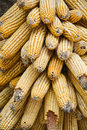 Golden old corn Royalty Free Stock Photo