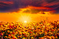 Golden orange blue sunset ranunculus flower field with sunbeams and sunlit clouds over colorful of fresh red yellow and purple Royalty Free Stock Photo