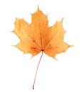 Golden orange and red maple leaf isolated white background. Beautiful autumn maple leaf isolated on white. Royalty Free Stock Photo
