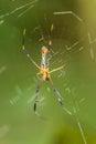 Golden orb weaver spider a Stock Images