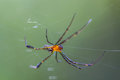 Golden orb weaver spider a Royalty Free Stock Images