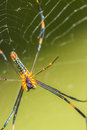 Golden orb weaver spider a Royalty Free Stock Image