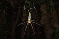Golden orb weaver spider Royalty Free Stock Photo