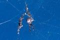 Golden Orb Weaver spider Royalty Free Stock Photo