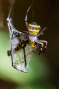 Golden Orb-weaver Spider Royalty Free Stock Photo