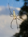 Golden orb-web spider Stock Photo