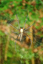 Golden orb web spider species name nephila pilipes Royalty Free Stock Photo