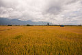 Golden paddy rice field Royalty Free Stock Photo