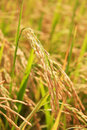 Golden paddy rice in thailand Stock Photos
