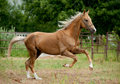 Golden palomino akhal teke horse runs free the Stock Image