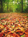 Golden pathway through woodland carpet of fallen leaves leading a wood natures carpet Royalty Free Stock Photo