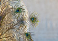 Golden Peacock Feathers Royalty Free Stock Image