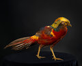 The golden pheasant on black background Royalty Free Stock Photo
