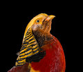 The golden pheasant on black background Royalty Free Stock Photos
