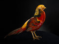 The golden pheasant on black background Royalty Free Stock Images