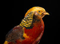 The golden pheasant on black background Stock Photo