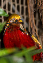 Golden pheasant the or chinese chrysolophus pictus Royalty Free Stock Image